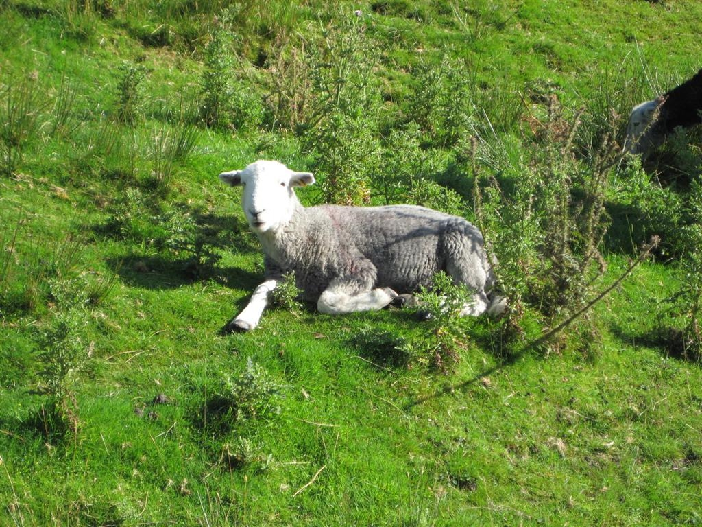 Image: The hardy Herdwick is a familiar sight in the Lake District