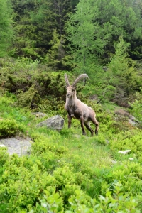 image: male ibex seen on the way to refuge berard