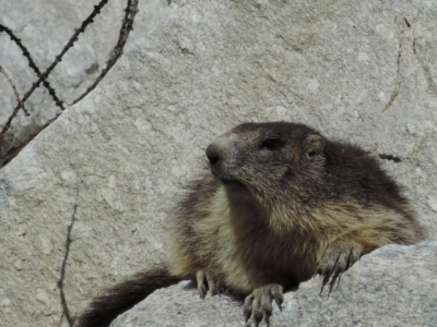 image: guests love marmots on a french alps walking holiday