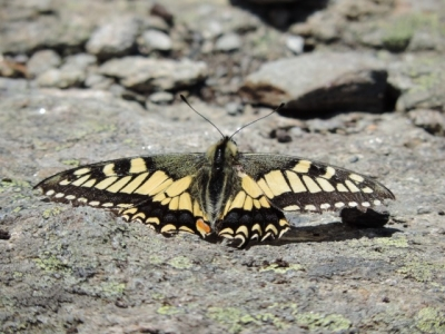 image: a popular butterfly in the alps