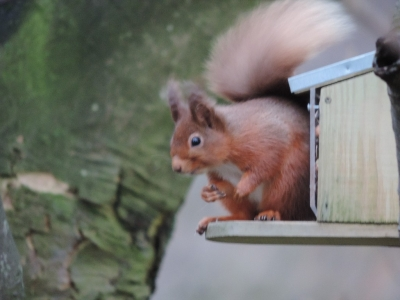 image: this red squirrel was spotted near Buttermere Lake