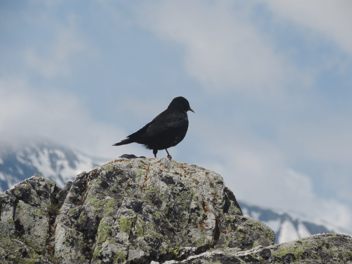 image: the alpine chough is always seen on a french alps walking holiday