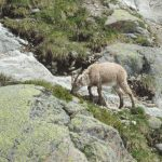 Ibex often seen on an Alpine Walking Break