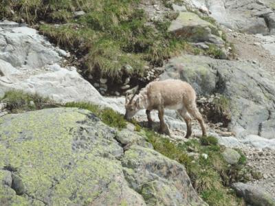 image: ibex feeding at lac blanc