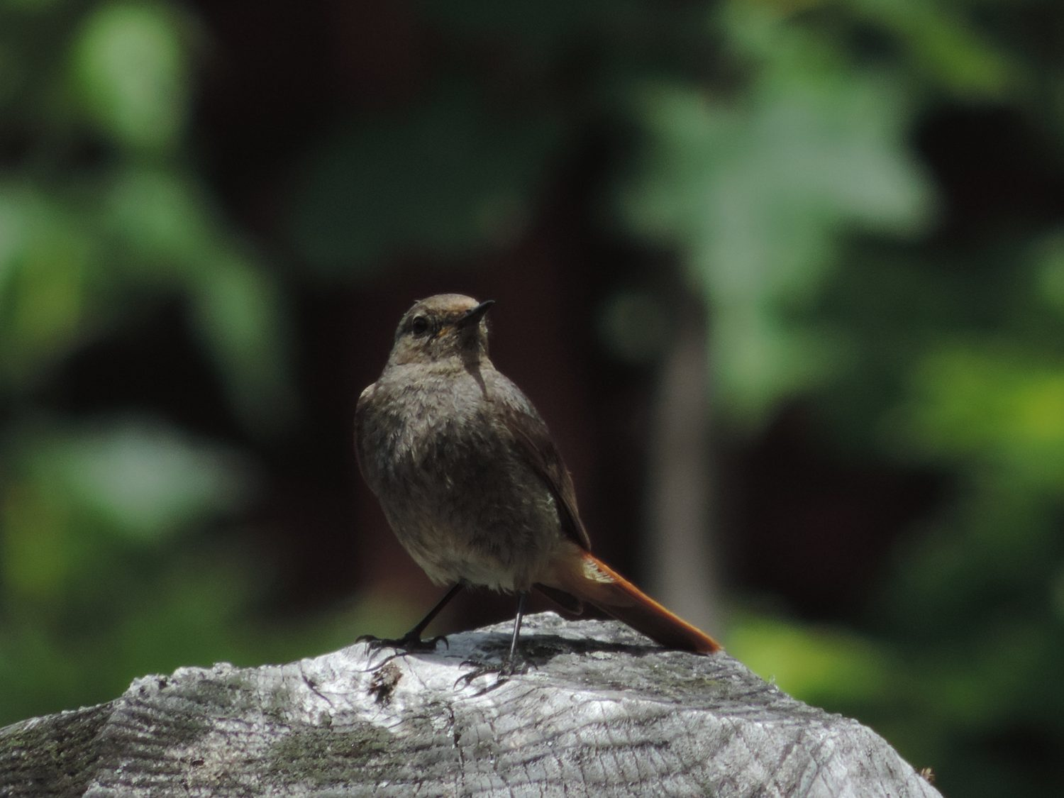 image: always a Redstart at Chalet Shiraz