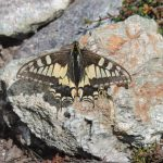 Beautiful wildlife; butterfly, on an alpine walking holiday
