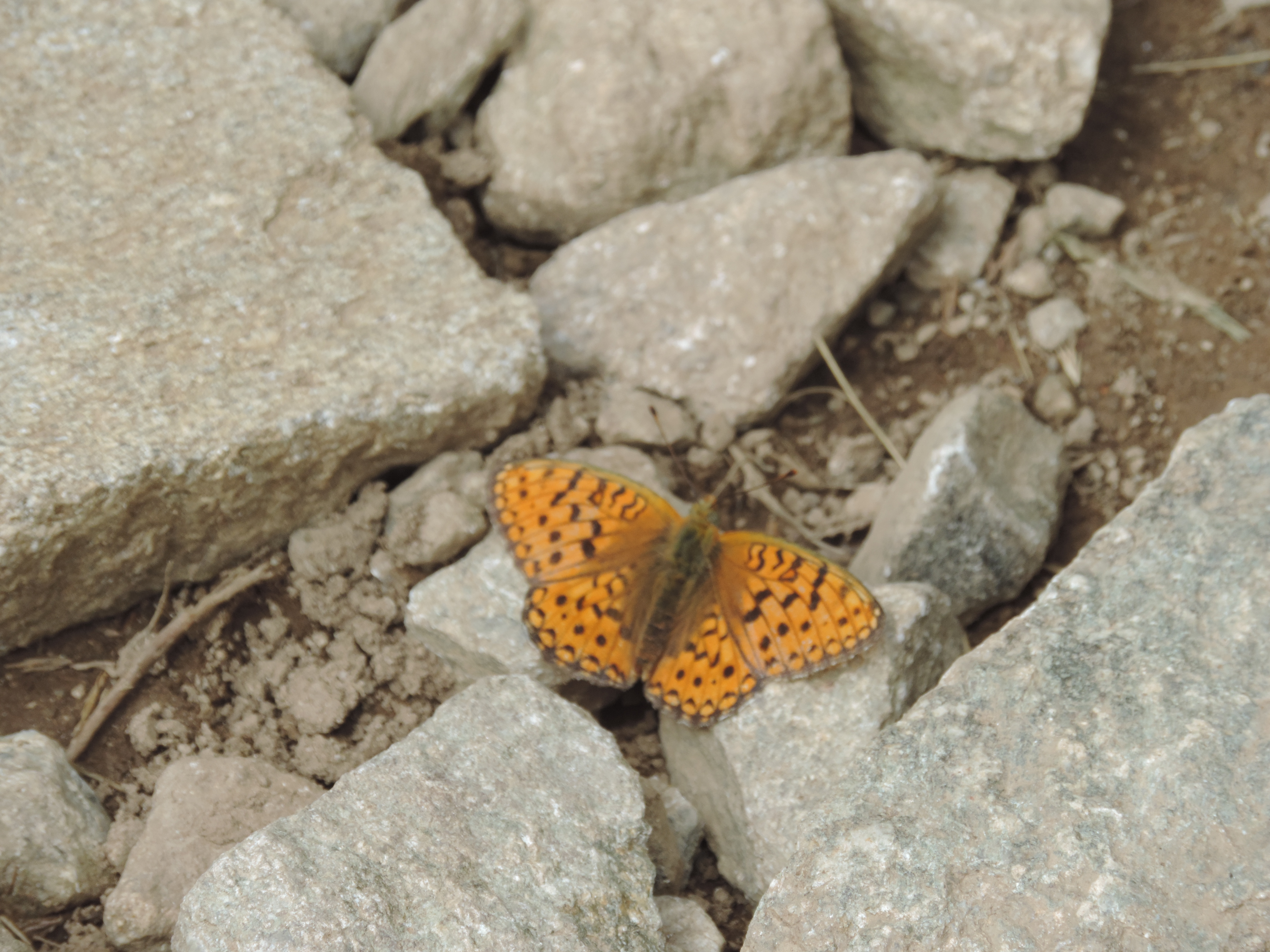 image: one of the many butterflies in the French Alps