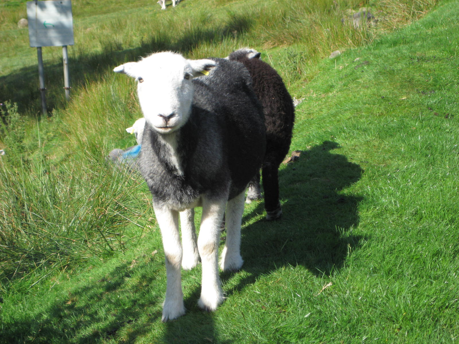 image: a hardy sheep found in the Lake District