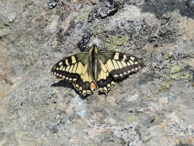 image: one of the most beautiful butterflies of the alps