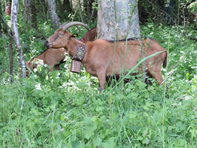 image: goats are always close to chalet shiraz in les houches