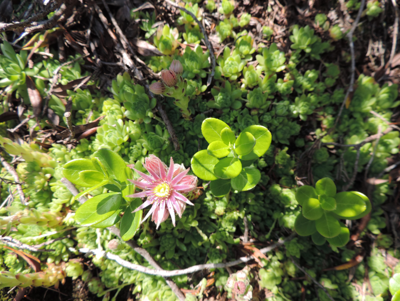 image: alpine flower on a pinnacle walking holiday